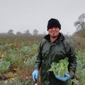 Bob harvesting cauliflowers