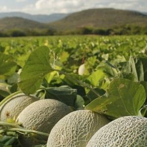 melons in a field