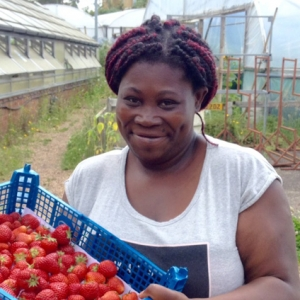 strawberry harvest at Dagenham Farm
