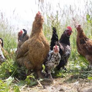 Elder Farm Chickens Ecological Land Coop