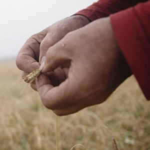 In our hands film wheat