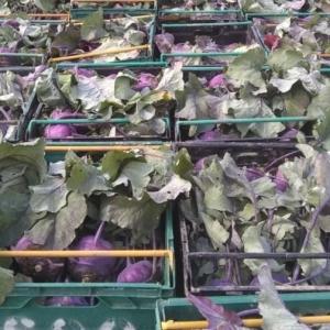 kohlrabi in crates sarah green