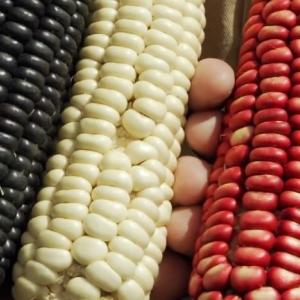 diverse maize seeds