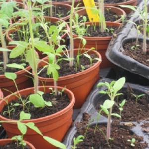 organic seedlings Dagenham farm