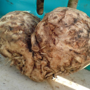 organic celeriac from Growing Communities
